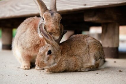 How do rabbits communicate with each other?