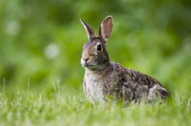 Why do rabbits stomp their feet?