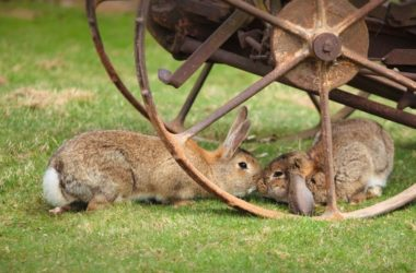 Why do rabbits touch noses?