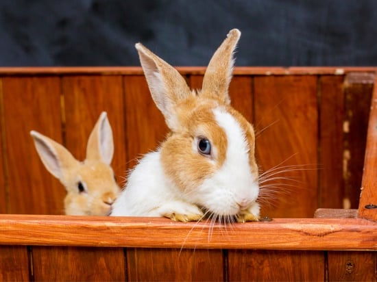 How to Deal with False Pregnancy in Rabbits — Rabbit Care Tips