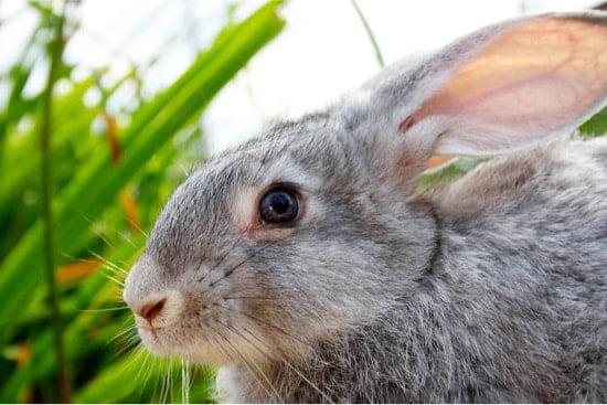 rabbit has eye boogers