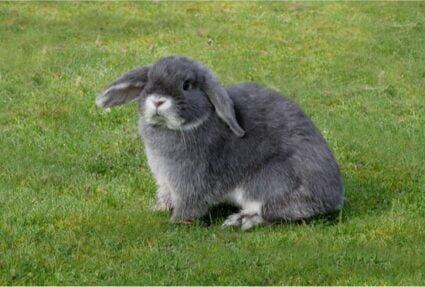 rabbit phantom pregnancy treatment