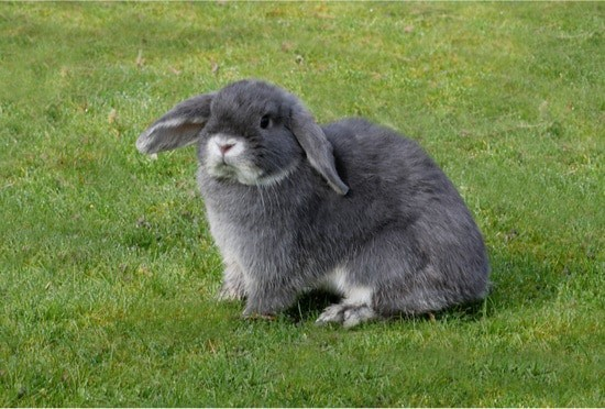 rabbit phantom pregnancy treatment