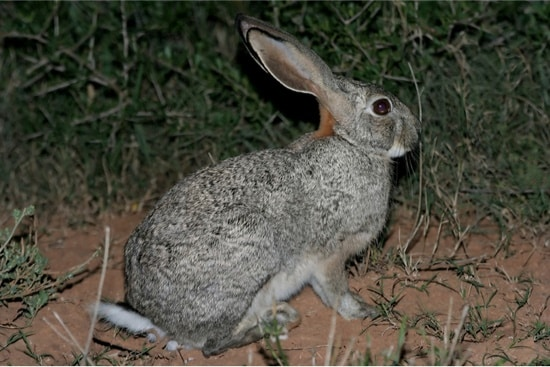 rabbit stomping at night