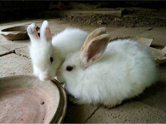 rabbits putting noses together