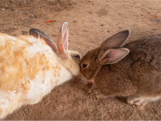 rabbits touching noses