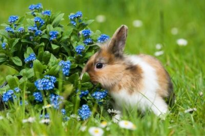 smallest rabbit breeds