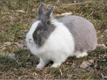smartest breed of rabbit