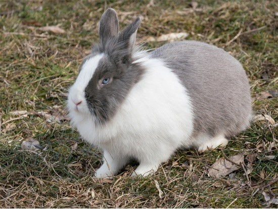 smartest breed of rabbit
