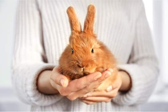 what causes rabbit false pregnancy?