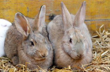 When Do Rabbits Come in Heat?