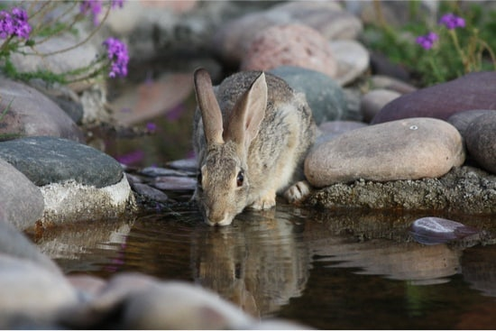 Why do rabbits not drink water?