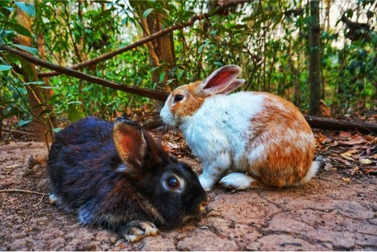 Why do rabbits pull out their fur?
