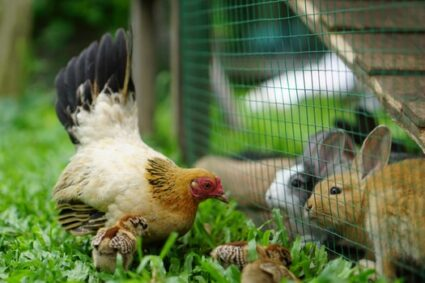 can rabbits and chickens live together?