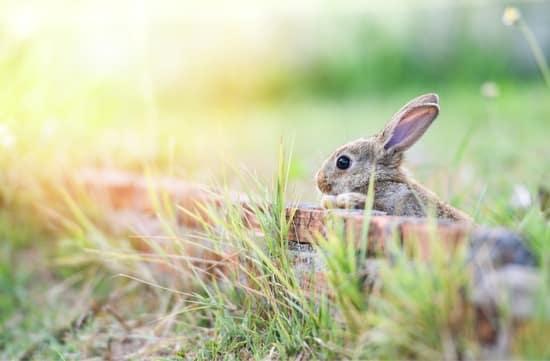 can rabbits climb walls?