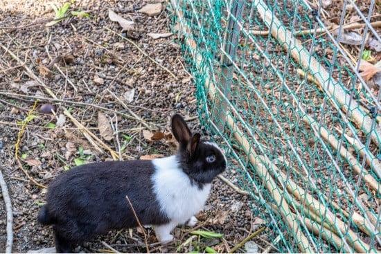 can rabbits climb wire fences?