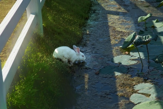 can rabbits swim?