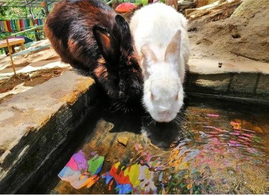 do rabbits like to swim?