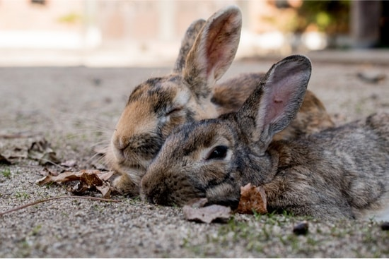 do wild and domestic rabbits breed?