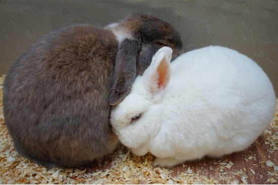 how long do rabbits stay in heat?