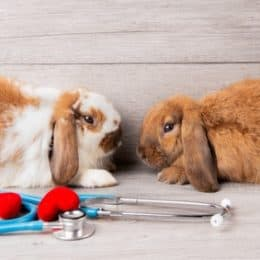 how to keep a pet rabbit healthy