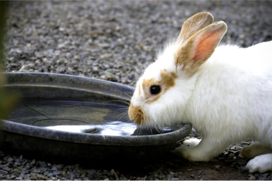 my bunny won't stop drinking water