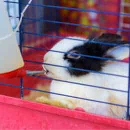polydipsia in rabbits