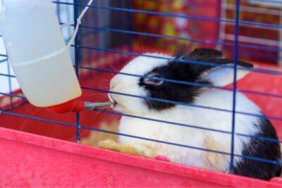 polydipsia in rabbits
