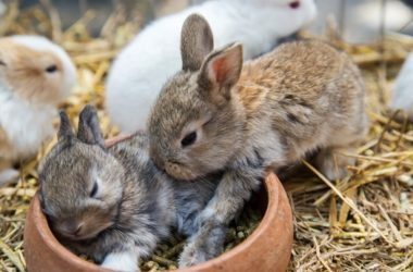 rabbit pulling fur out of other rabbit