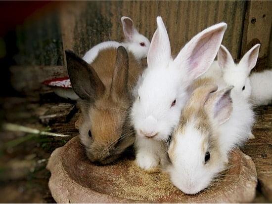rabbits memory span