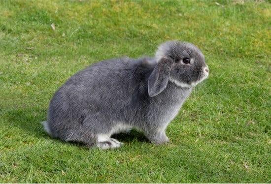 signs female rabbit in heat