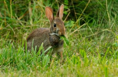 wild vs domestic rabbit