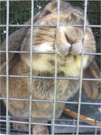 will Rabbits Chew Through Metal Wire?