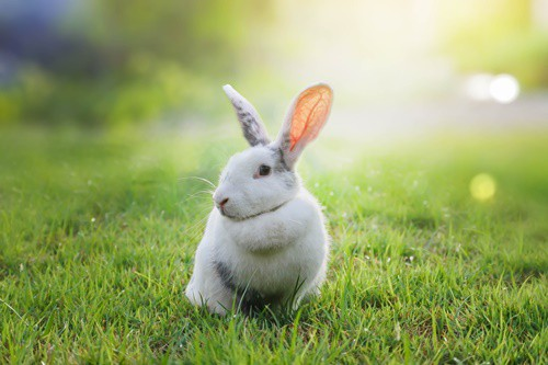 Can Rabbits Eat Grass from the Yard?