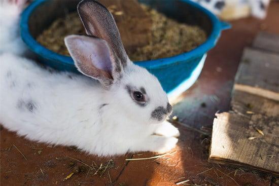 Do rabbits regurgitate?