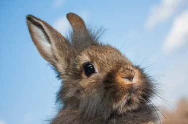 How Good is a Rabbit's Sense of Smell?