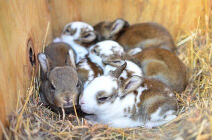 How Many Babies Do Rabbits Have in Their First Litter?