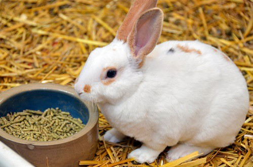 How to Get a Rabbit to Eat Pellets