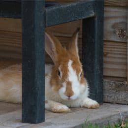 Rabbit Shaking and Laying Down