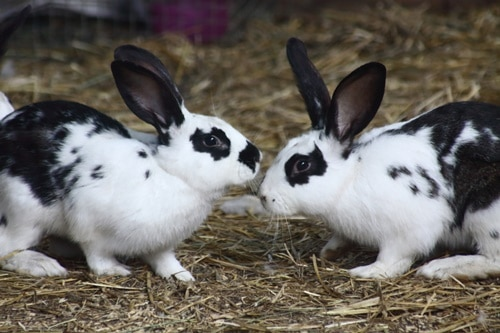 Signs of Dominant Behavior in Rabbits