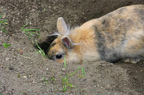 Why Do Rabbits Dig Holes?
