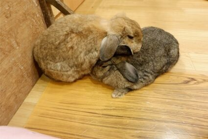 aggressive grooming in rabbits