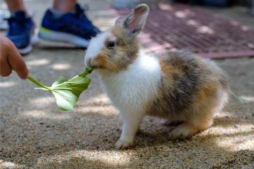 are rabbits allowed spinach leaves?