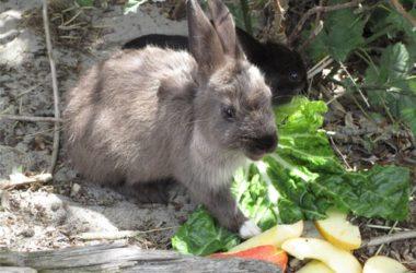 best lettuce for rabbits