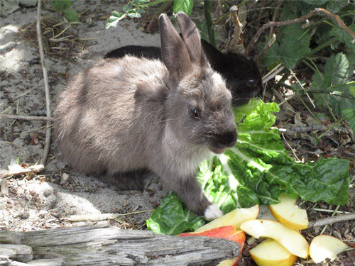 best lettuce for rabbits
