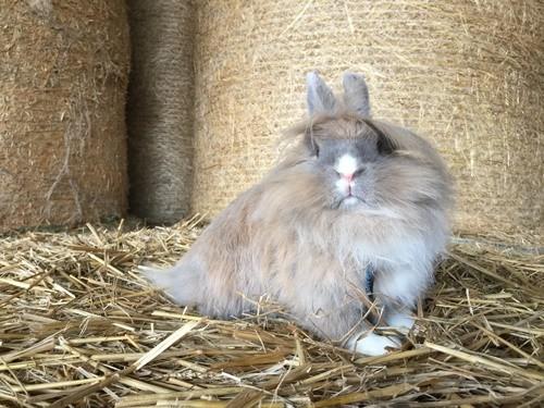 can Lionhead Rabbits live alone?
