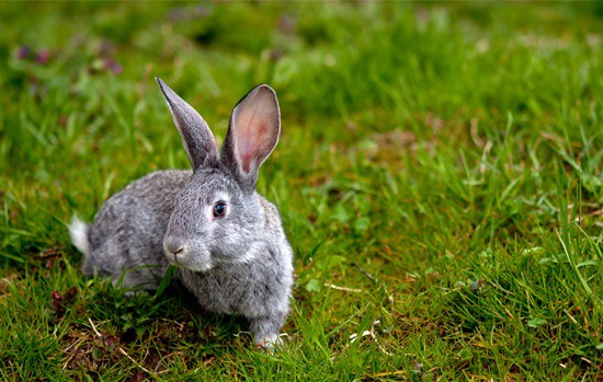 can bunnies eat lawn grass?