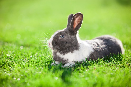 can pet rabbits eat lawn clippings?