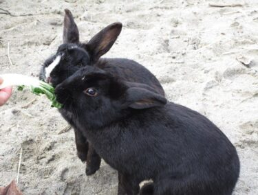 can rabbits eat romaine lettuce?