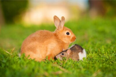 difference between rabbits and rodents